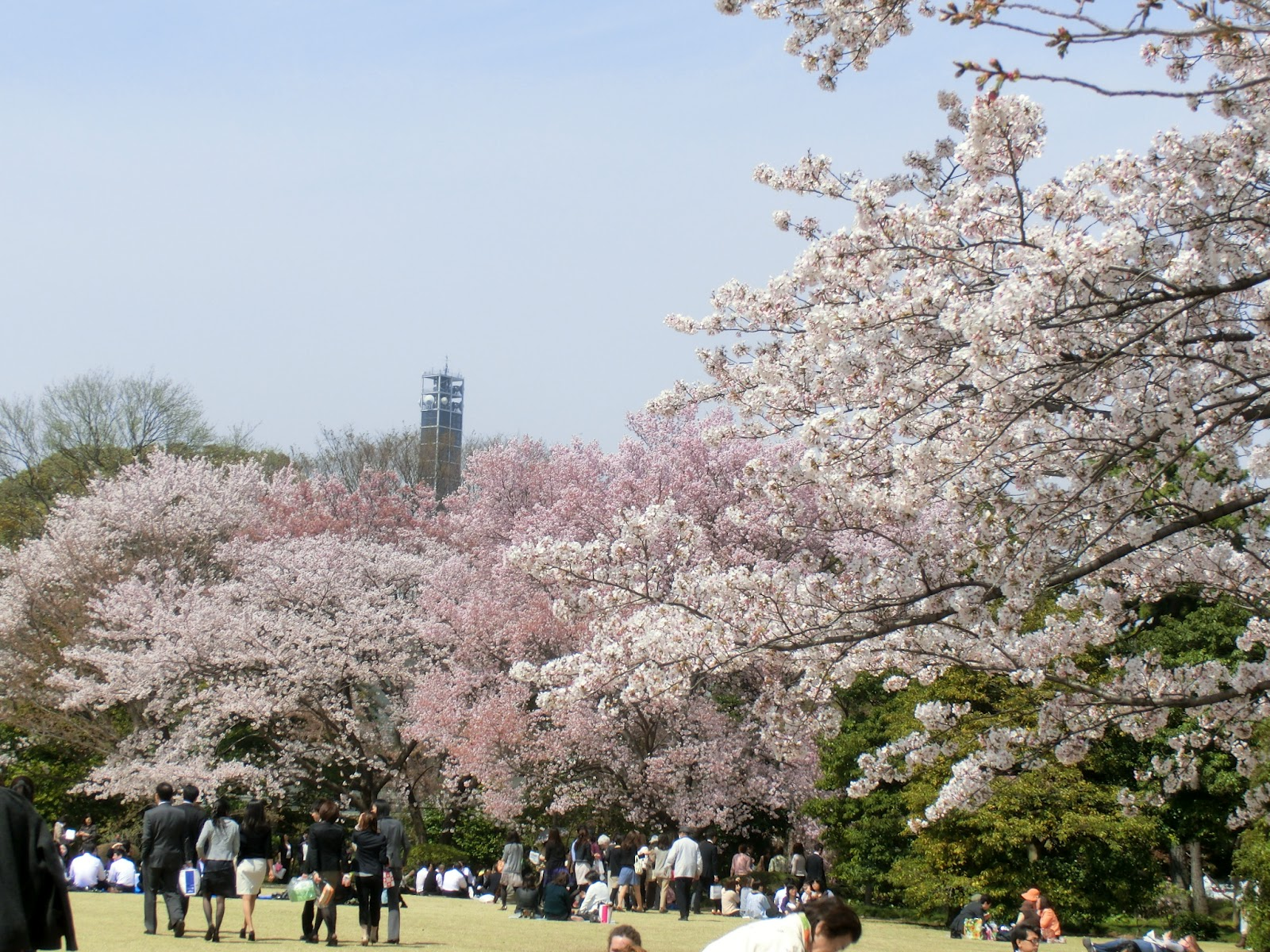 Imperial Palace Cherry Blossom Tokyo Japan